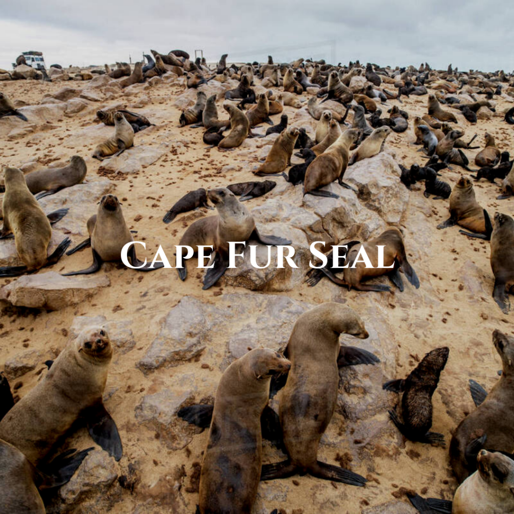 Cape Fur Seal