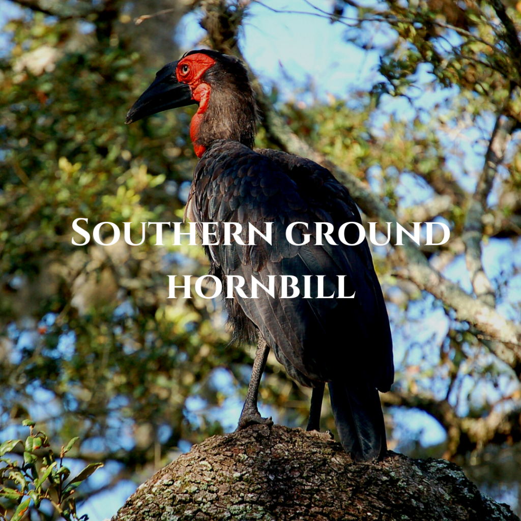 Southern Ground Hornbill 1