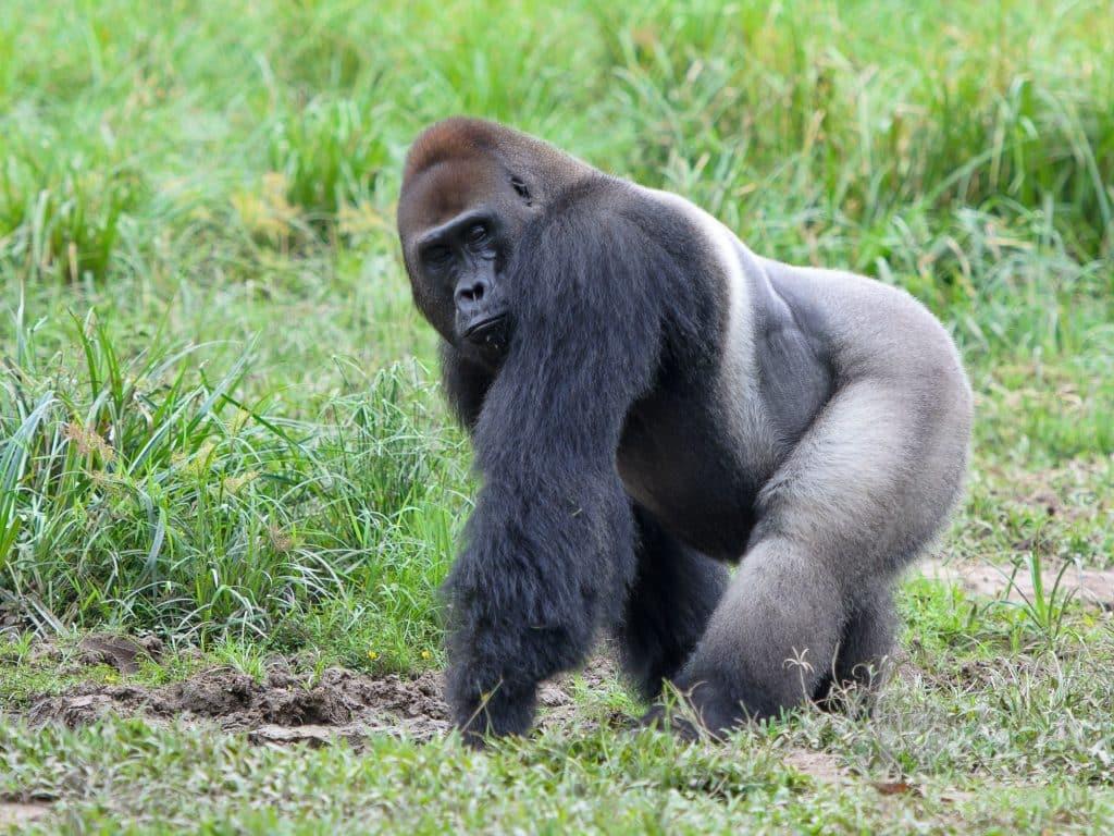 Wildlife in Congo