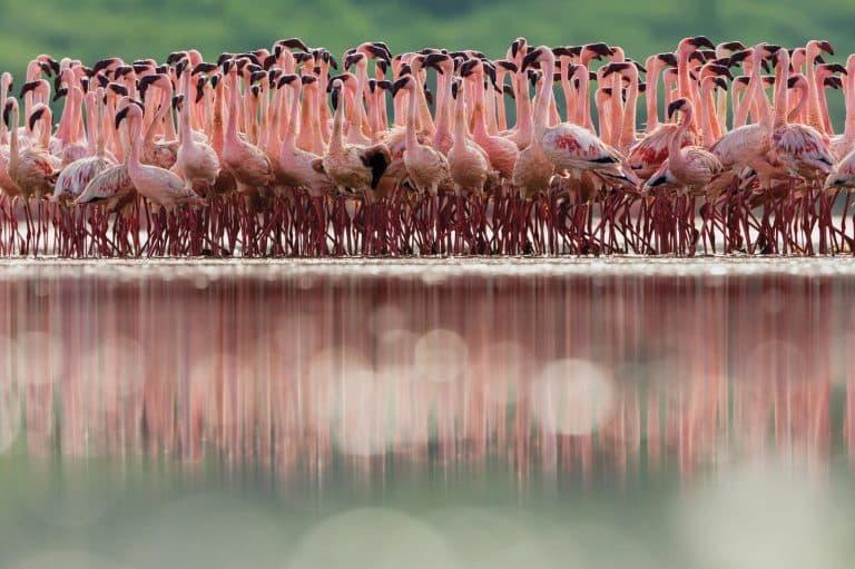 Flamingo Flocks